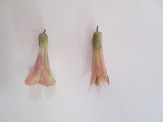 daigremontiana and angustifoliaIMG_2534.JPG