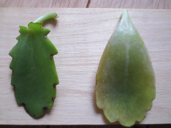 laxiflora(T)-fedschenkoiIMG_9625.JPG