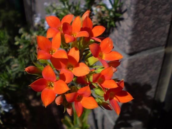 04アフリカン オレンジ花.jpg