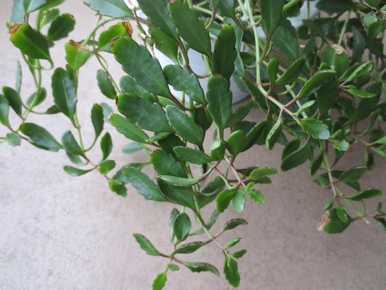 gracilipes IMG_6851.JPG