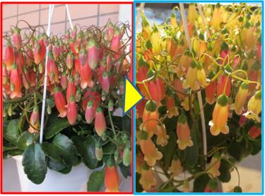 gracilipes coloration.png